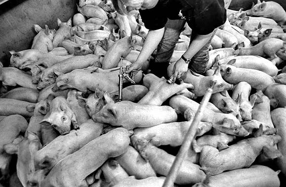 Inoculating piglets against lung disease.