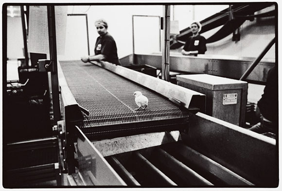 Poultry plant workers examine chicks for defects.