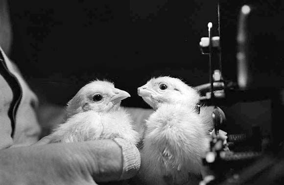 Two chicks with clipped beaks.