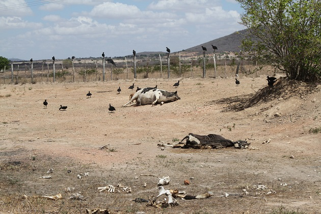 Dead farm animals in Pesqueira, northeastern Brazil.