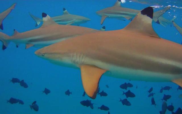 Blacktip reef sharks: Jon Rawlinson via Wikimedia Commons