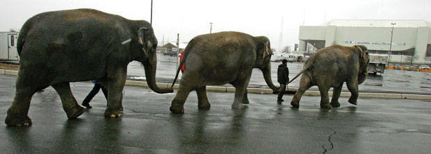 It's a classic image: elephants lumbering trunk to tail. But is this docility born of positive reinforcement—or fear of being beaten?: Keith Meyers/The New York Times/Redux