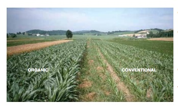 Corn in the [organc]  legume-based (left) and  conventional (right)  plots six weeks after  planting during the  1995 drought. The  conventional corn  is showing signs of  water stress. Photo and caption: Rodale Institute