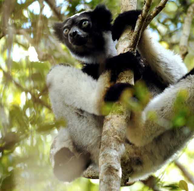 The indri, the largest species of lemur © Conservation International/photo by Russell A. Mittermeier