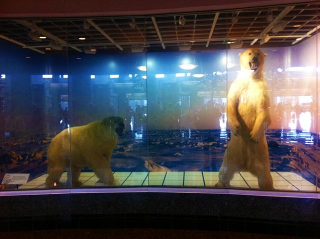 Polar bear diorama at Anchorage airport: Julia Whitty