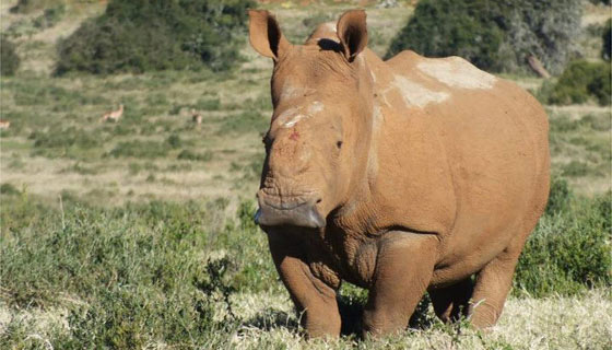 A Big Middle Finger to Thandi's Attackers Courtesy of Kariega Game Reserve